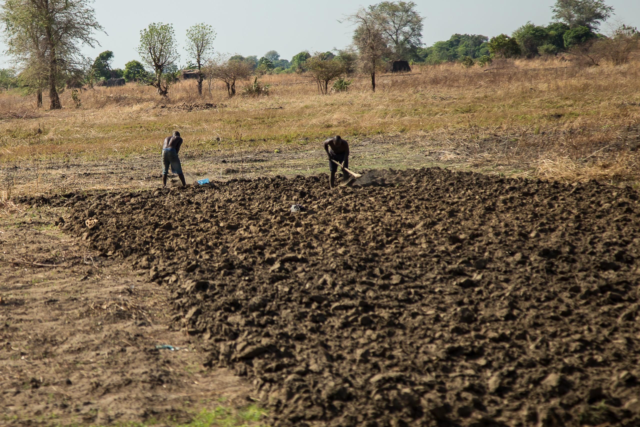 Hand tilling fields.